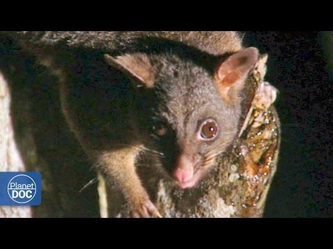 Marsupials, monotremes & eutherians | Australia