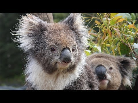 Cairns - Kuranda Koala Gardens And Birdworld