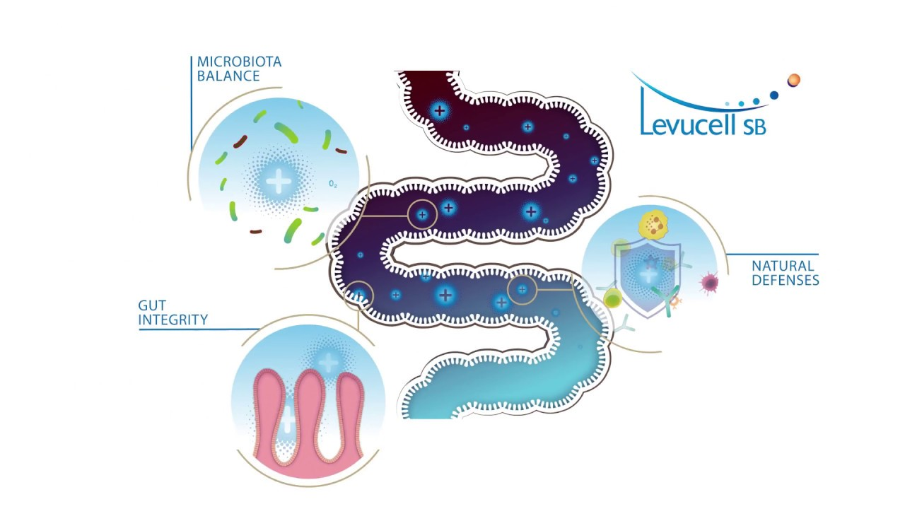 Mode of action of LEVUCELL SB in the intestinal tract