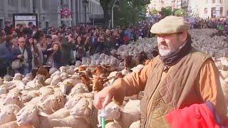 2,000 Sheep Parade Through Spain's Stre...