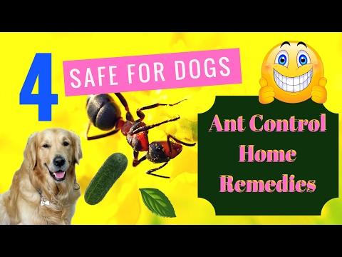 4-safe-for-dogs-ant-control-home-remedies