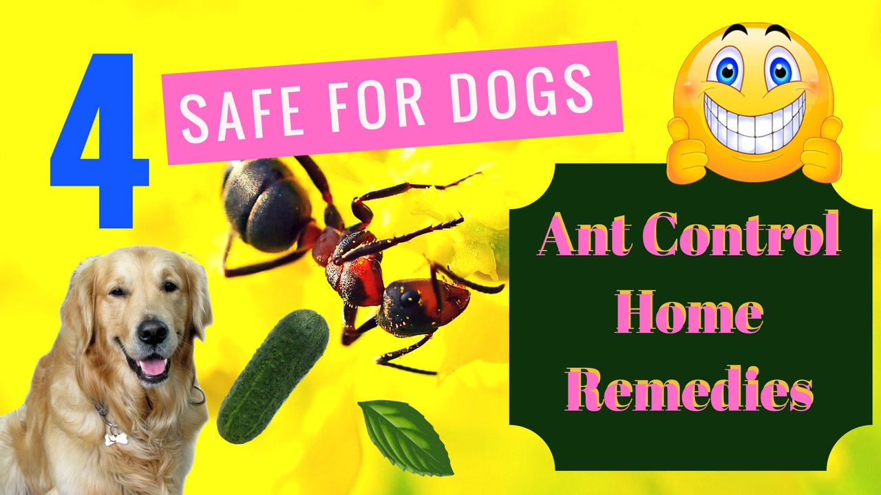 Dog safe ant traps the best ant 2017 pet safe ant way to get rid of ants in house ccuart Images