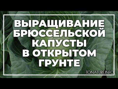 Выращивание брюссельской капусты в открытом грунте | toNature.Info