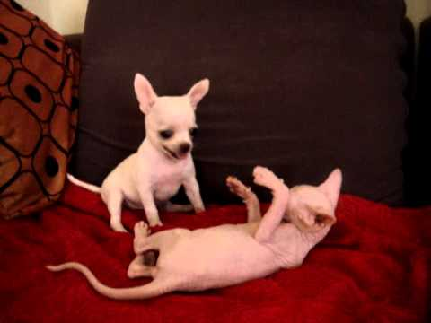 sphynx kitten and chihuahua puppy playing...