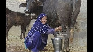 cow how to get milking process fresh milk in village by women  buffalo milking   new 2018