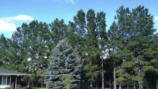 Ponderosa Pine - Tree Spot No. 1