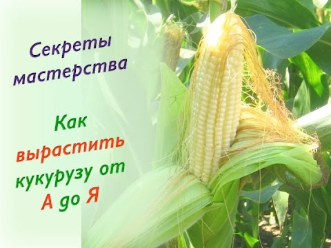 Как вырастить кукурузу на урале