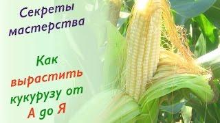 видео Посев кукурузы на даче: выращивание и уход