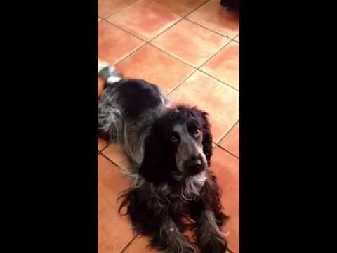 cute-blue-roan-cocker-spaniel-lily-is-so-obedient!