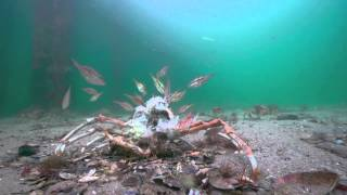 Stingrays attack on Spider Crabs. The full Story