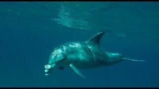 Dolphin Diary 160618 0955 - I got me a cuttlefish!