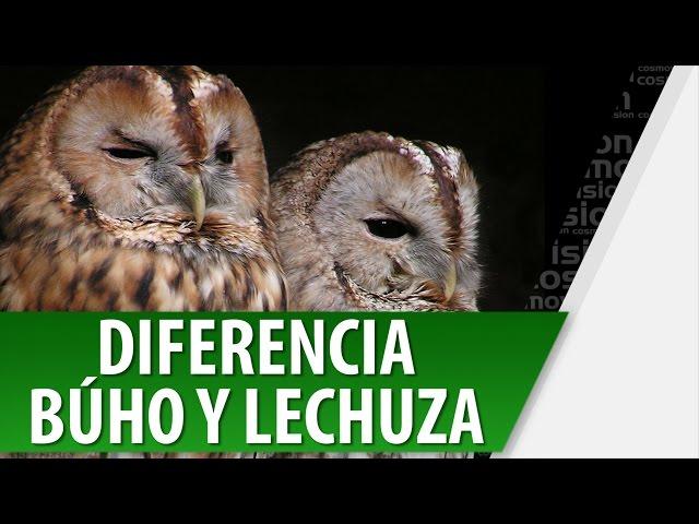 Cuál Es La Diferencia Entre Búho Y Lechuza Difiere