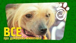 Китайские Хохлатые Собаки (Часть Вторая). Все О Домашних Животных