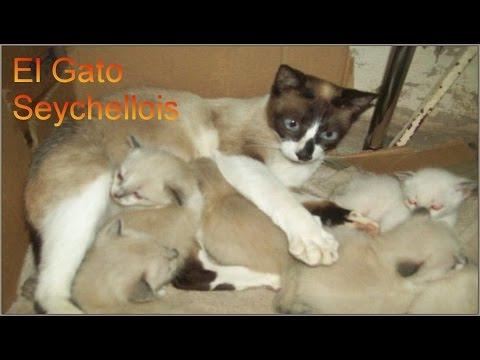 El Gato Seychellois - Razas de gatos