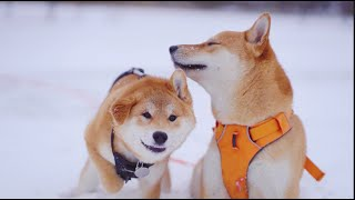 Shiba Inu Puppy First Time To Play In Snow With His Shiba Bro!