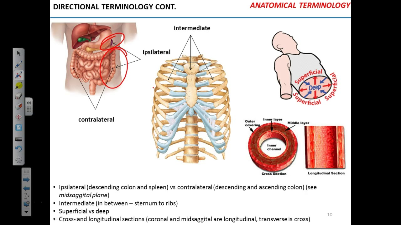 Anatomical terminology - YouTube