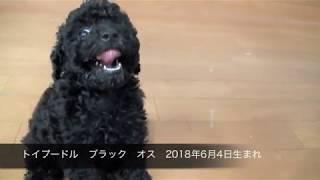 トイプードル ブラック オス 2018年6月4日生まれ.
