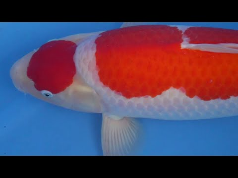 How To Select Koi With John Lentzis | Masterclass With Results