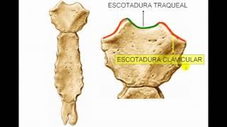Osteología: Tórax 2