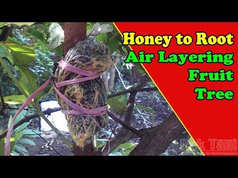 Honey To Root Air Layering Tree Tutorial | Grafting Examples