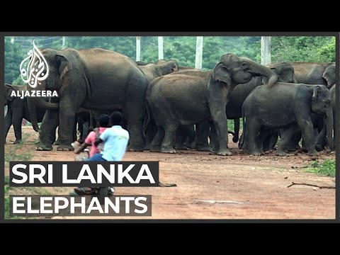 Sri Lankan elephants' struggle to survive