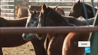Vidéo : dans l'ouest des États-Unis, les mustangs sont en surnombre