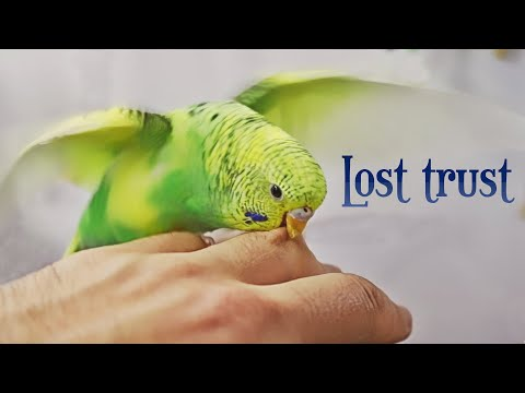 How To Lose Your Budgies Trust?