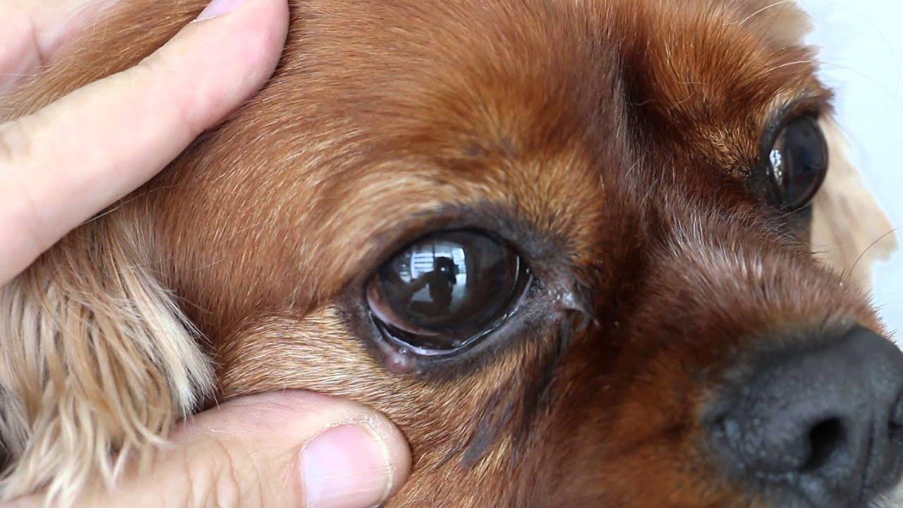 Small White Lump On Dog S Eyelid   Amtmakeup co