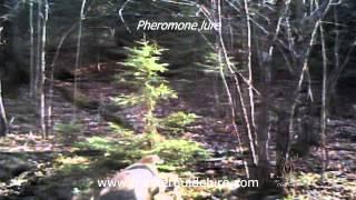 Pheromone test on whitetail terretory