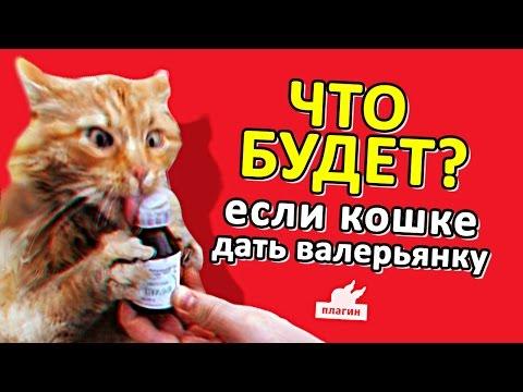 Что будет если коту дать валерьянку? Коты после валерьянки.
