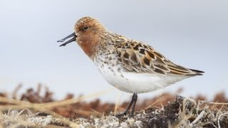 Spoon-billed Sandpiper: Courtship thumbnail