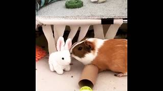 Funny Cute Animals Guinea Pigs 1