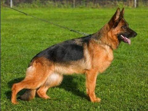 Порода вельштерьер фото, видео, описание собак и их