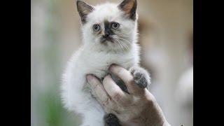 Котята скоттиш-фолд и скоттиш-страйт питомника Каприоль