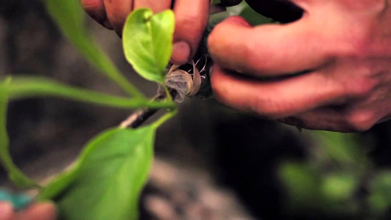 Growing History Propagates Magnolia Soulangeana Youtube