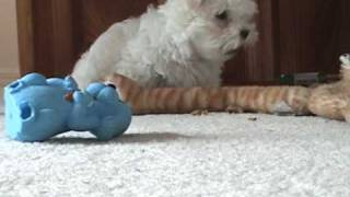 Maltese Puppy And West Highland Terrier Playing