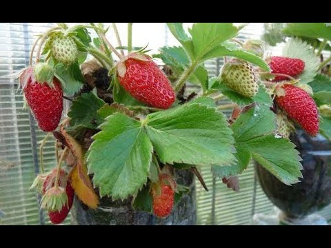 Cara Menanam Strawberry Dalam Botol