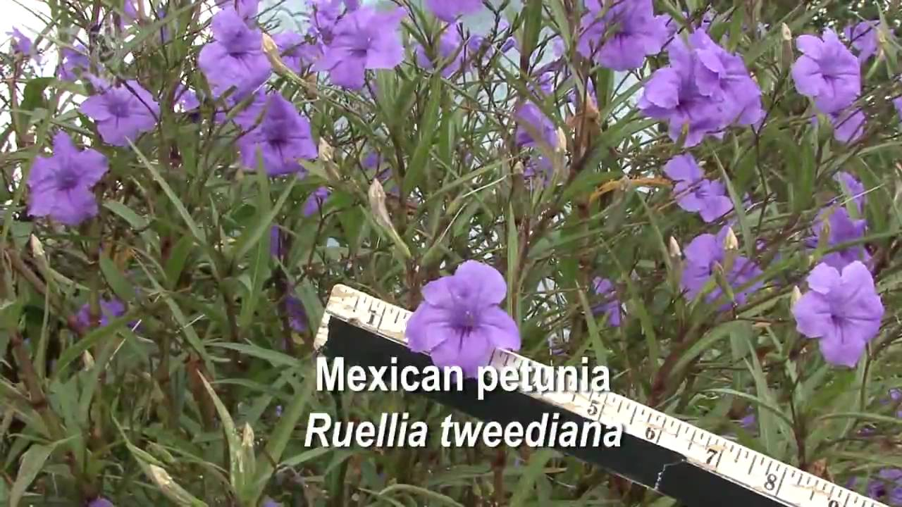 How to grow petunia from seeds - How To Grow Petunia From Seeds 40