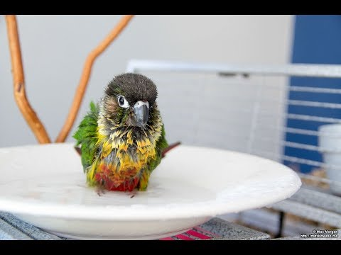 How to give Bird First Bath | Bird Water Training | Conure