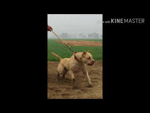 Top 50 indian pitbull pure indians biggest and strongest please subscribe this channels
