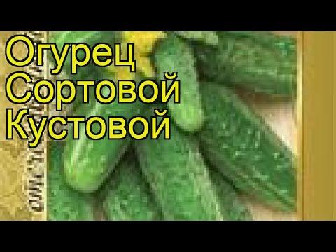 Огурец сортовой Кустовой. Краткий обзор, описание характеристик, где купить семена Kustovoy
