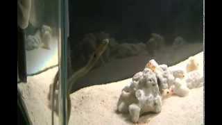 海水魚水槽 ハタタテネジリンボウ&ランドールピストルシュリンプ  他