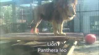 ネコ科の鳴き声比較 サビイロネコ 検索動画 15