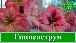 Уход за гиппеаструмом в домашних условиях после цветения и болезни цветка (фото, видео)