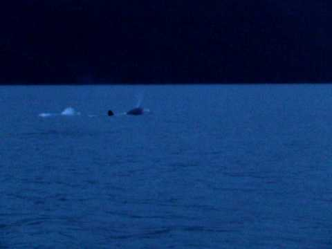 Transient orcas in Port Snettisham, Alaska (spyhop) - July 6, 2007
