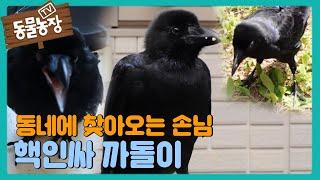 까마귀 '까돌이'가 동네 핵인싸가 된 이유! (ft. 야생 적응하는 까돌이) I TV동물농장 (Animal …