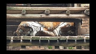 I guess tigers are not loners any more and get along well !