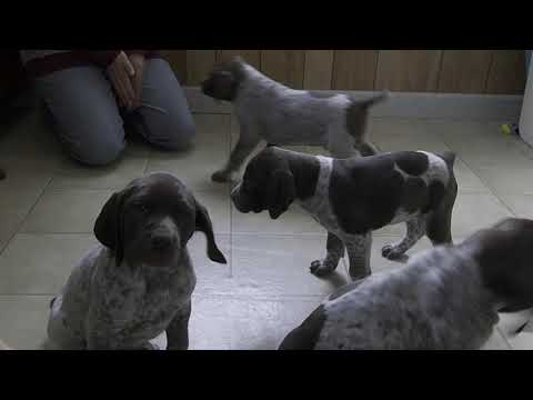 Leon Yoder's German Short Hair Pointer Puppies