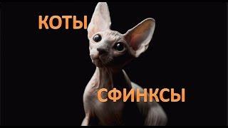 Лысые коты сфинксы