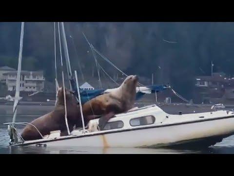 Морские львы захватили